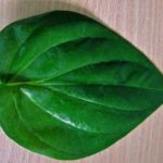 Betel Leaf Medicinal Uses And Precaution